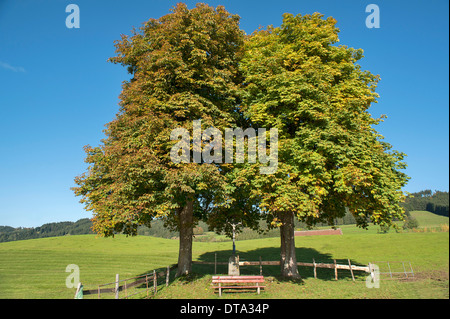 Two autumnal Large-leaved Lime trees (Tilia platyphyllos) with a bench and a crucifix, Engelhirsch, Oberallgäu, - Stock Photo