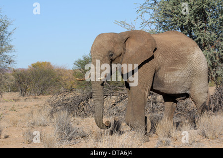 African desert elephant in the Kunene region of the Namib desert,Namibia. - Stock Photo