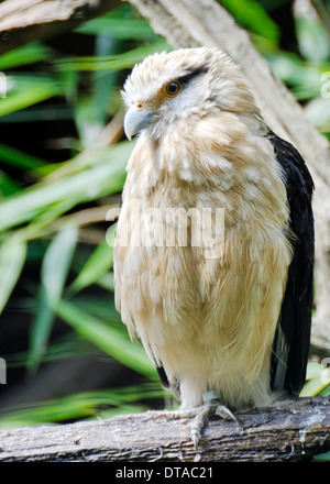 Yellow-Headed Caracara (Milvago chimachima) in England - Stock Photo