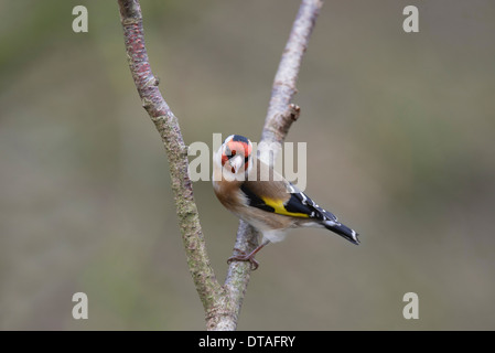 Goldfinch (Carduelis carduelis) perched on a twig - Stock Photo