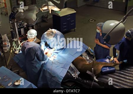 Berlin, Germany, veterinarians operate a horse - Stock Photo