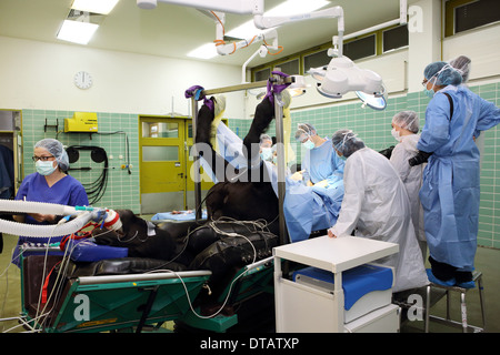 Berlin, Germany, surgery on a horse - Stock Photo