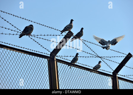 dove symbol of freedom and wire mesh - Stock Photo