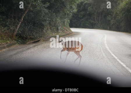 Deer crossing road - Stock Photo