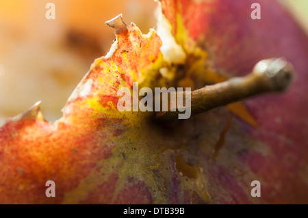 Closeup of a fallen apple that has been partially eaten by wildlife - Stock Photo