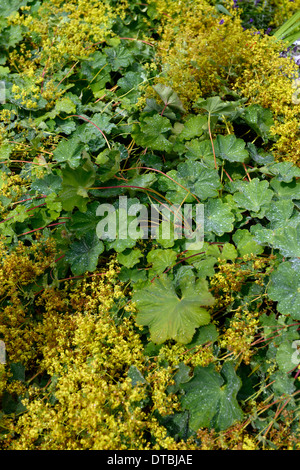 alchemilla mollis Lady's Mantle yellow flowers green leaves foliage groundcover dense carpet - Stock Photo