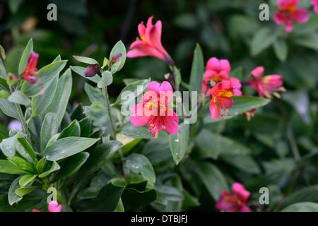 alstroemeria bonanza Hybrid Alstroemerias Peruvian Lilies lily red flowers flowering perennial - Stock Photo
