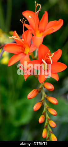 Transkei montbretie-Crocosmia masoniorum
