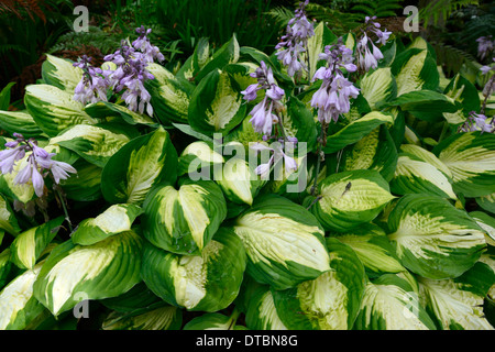 Hosta green white variegated leaves foliage purple flower flowers hosta green white variegated leaves foliage purple flower flowers flowering mix mixed colour colors colourful mightylinksfo