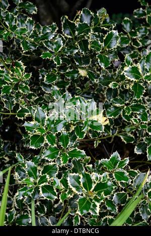 ilex aquifolium argentea marginata Variegated English Holly glossy yellow leaves foliage - Stock Photo