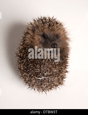 Juvenile hedgehog curled in ball in studio - Stock Photo