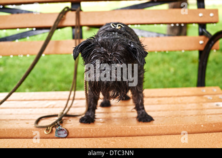 Portrait of a wet dog standing on park bench in rain - Stock Photo