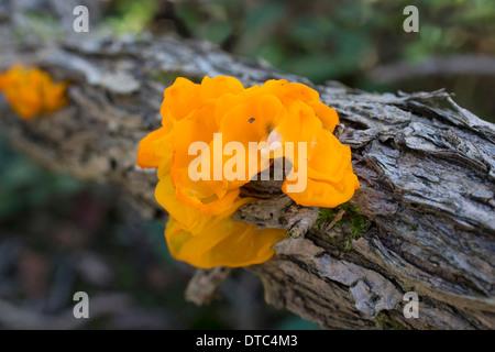 Yellow Brain Fungus; Tremella mesenterica; Autumn; UK - Stock Photo