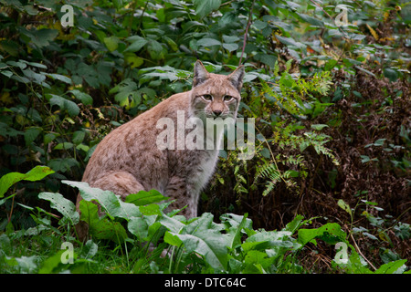 Eurasian lynx (Lynx lynx) sitting in forest - Stock Photo