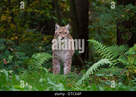 Eurasian lynx (Lynx lynx) in forest - Stock Photo