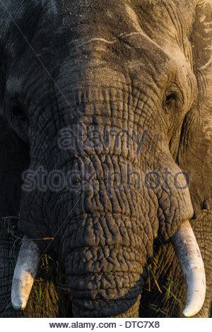 African elephant (Loxodonta africana) Close Up, Tanzania - Stock Photo