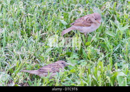 House Sparrow (Passer domesticus),  two birds playing in the grass - Stock Photo