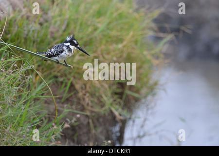 Pied kingfisher (Ceryle rudis - Alcedo rudis) perched on reed Masai Mara - Kenya - East Africa - Stock Photo