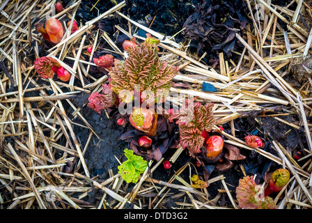 New rhubarb plant shoots emerging from ground - Stock Photo