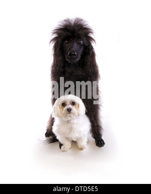 Large black poodle dog with small white maltese dog isolated on white background - Stock Photo