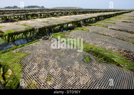 oyster culture, oyster farming, aquaculture, mariculture, Pacific oyster, Austernzucht, Pazifische Auster, Crassostrea - Stock Photo