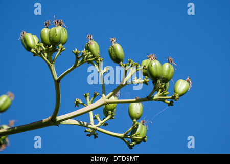 Century plant, maguey, American agave, American aloe, Amerikanische Agave, Früchte, Hundertjährige Agave, Agave - Stock Photo