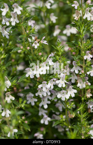 Winter savory, Berg-Bohnenkraut, Bergbohnenkraut, Winter-Bohnenkraut, Bohnenkraut, Winterbohnenkraut, Satureja montana - Stock Photo