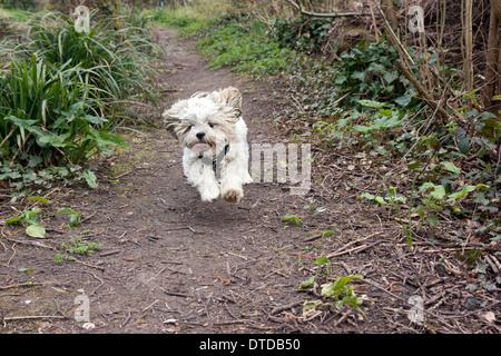 shih tzu puppy, 6 months old, running - Stock Photo