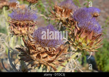 Wild artichoke purple flowers and leaves - Stock Photo