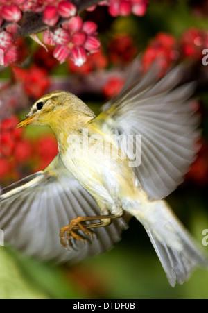 Willow Warbler, Phylloscopus trochilus, in flight - Stock Photo