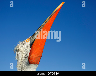 Dalmatian Pelican showing orange-red pouch - Stock Photo