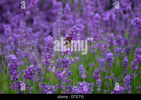 Lavender flowers with bumble bee - Stock Photo