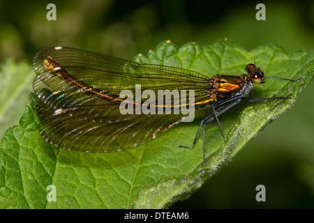 Adult female Beautiful demoiselle, Calopteryx virgo - Stock Photo