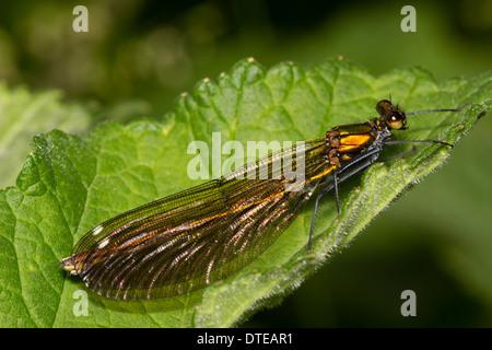Female Beautiful demoiselle, Calopteryx virgo - Stock Photo