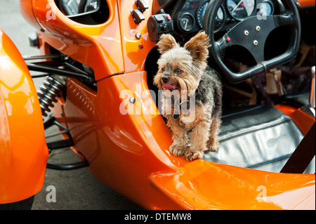 A Yorkshire Terrier (Canis lupus familiaris) in a Campagna T-Rex 14-RR three wheeled motorcycle Cyclecar. - Stock Photo