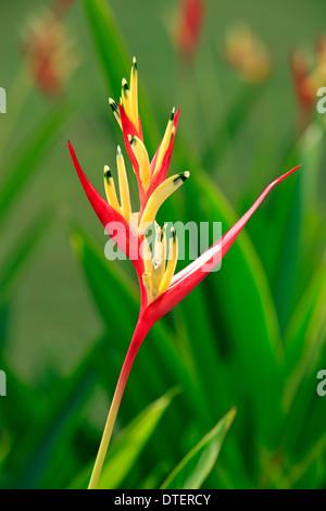 Parrot Heliconia, Kota Kinabalu, Sabah, Borneo, Malaysia / (Heliconia psittacorum) - Stock Photo