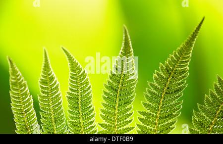 Dicksonia fibrosa fern leaves in a greenhouse. Royal Botanical Garden. Madrid. Spain - Stock Photo