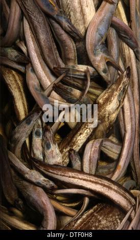 Synaphobranchus kaupi, arrowtooth eel - Stock Photo