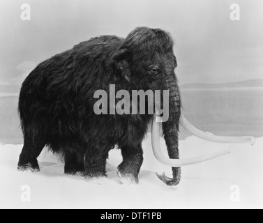 Mammuthus primigenius, woolly mammoth - Stock Photo