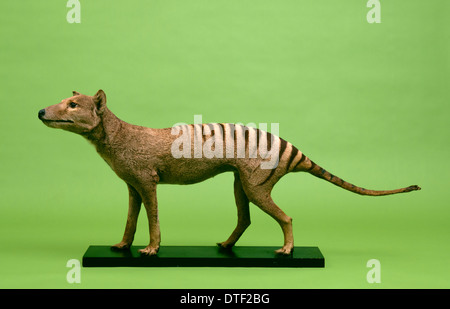 Thylacinus cynocephalus, thylacine - Stock Photo
