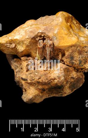 Castor fiber, Eurasian beaver - Stock Photo