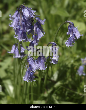 Hyacinthoides nonscripta, bluebell - Stock Photo
