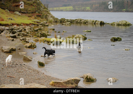 Two labradors and a jack russell playing in the water on the edge of Ullswater in the Lake District National Park - Stock Photo