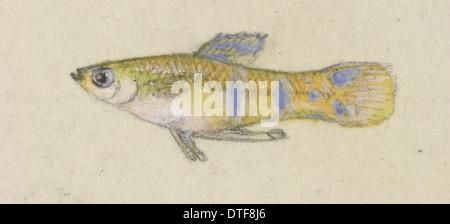 Poeciliidae sp, Guppy - Stock Photo