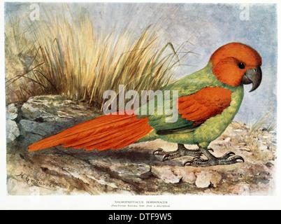 Walter Rothschild's Necropsittacus borbonicus - Stock Photo