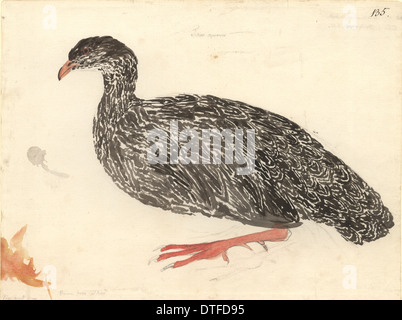 Francolinus capensis, Cape francolin - Stock Photo