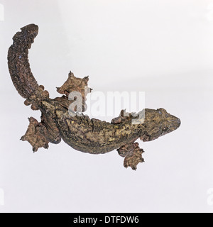 Ptychozoon kuhli, flying gecko - Stock Photo