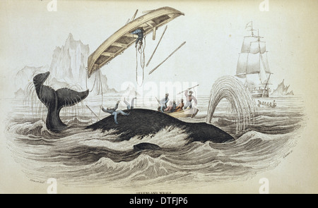 Balaena mysticetus, bowhead whale - Stock Photo