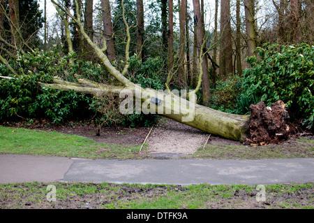 Fallen tree in Brueton Park, Solihull, UK - Stock Photo