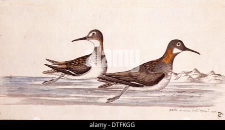 Phalaropus lobatus, red-necked phalarope - Stock Photo